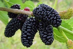 vino-iz-shelkovicy-2