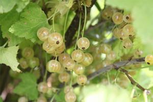 vina-iz-beloj-smorodiny