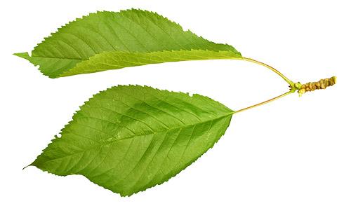 Ликёр из листьев вишни