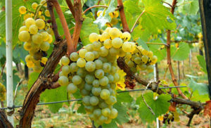 beloe-domashnee-vino