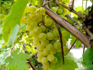 beloe-domashnee-vino-6