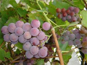 Вино из лидии