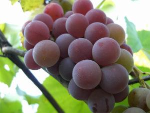 vino-iz-lidii-4