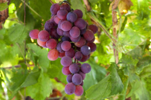 vino-iz-lidii-8