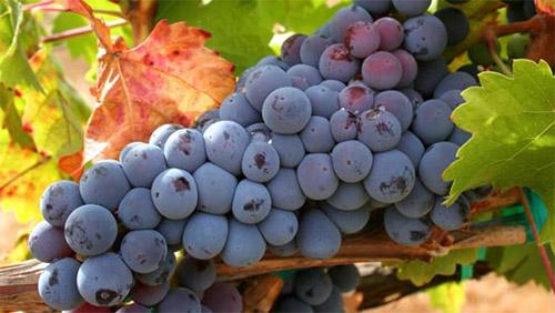 Вино вино из дальневосточного садового винограда рецепт