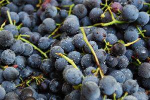 Вино домашнее из винограда изабелла