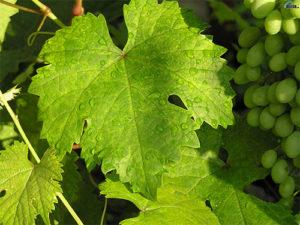 shampanskoe-iz-vinogradnyh-listev-2