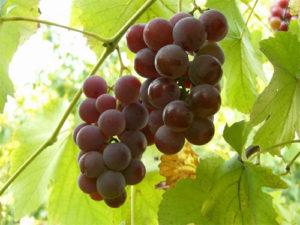 sorta-vinograda-2