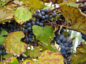 krasnoe-vino-v-domashnih-usloviyah