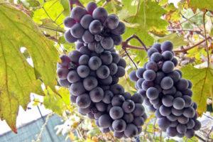 suhoe-vino-2