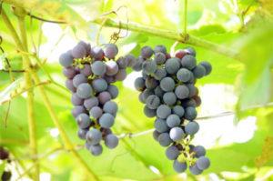 vino-iz-dalnevostochnogo-vinograda