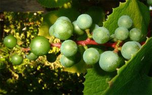 vino-iz-primorskogo-vinograda-3