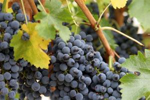 vino-iz-primorskogo-vinograda