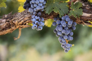 vino-iz-vinograda-izabella-3