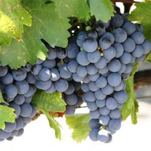 vino-iz-vinograda-izabella-5
