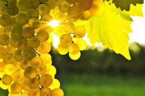shampanskoe-iz-vinogradnyh-listev-3
