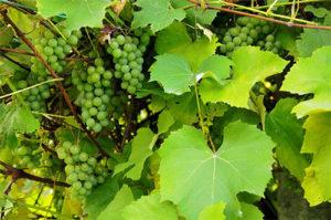 shampanskoe-iz-vinogradnyh-listev-4